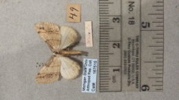 Drepanulatrix bifilata image