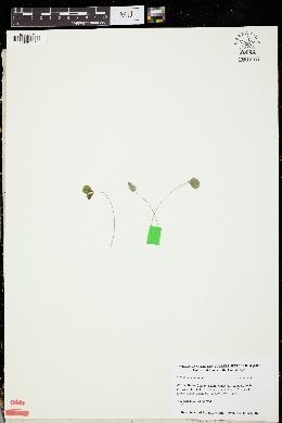 Trifolium montanum image