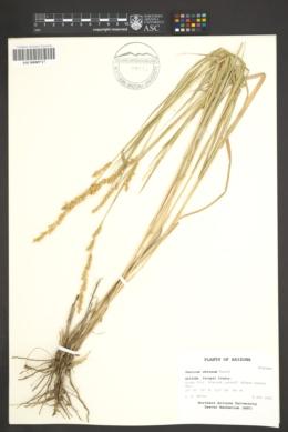 Hopia obtusa image