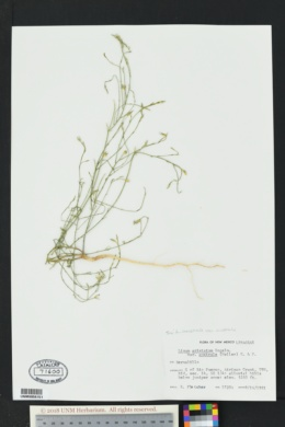 Linum australe var. australe image