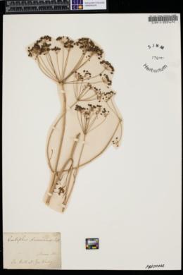 Image of Eulophus americanus