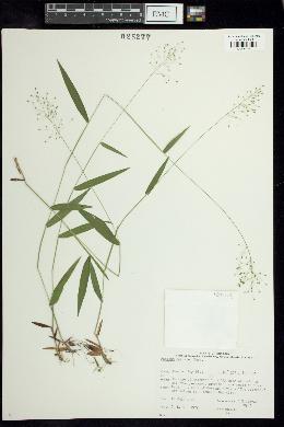 Panicum boreale image