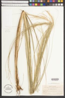 Aristida erecta image