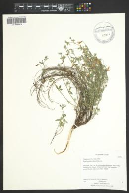 Acmispon oroboides image