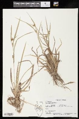 Carex glaucodea image
