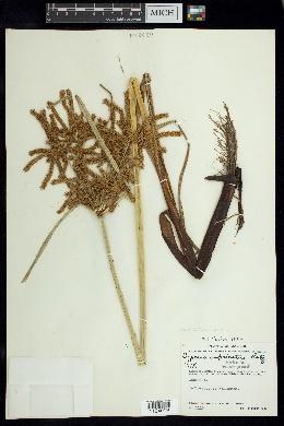 Image of Cyperus imbricatus