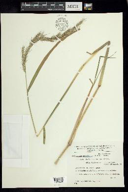 Image of Echinochloa polystachya