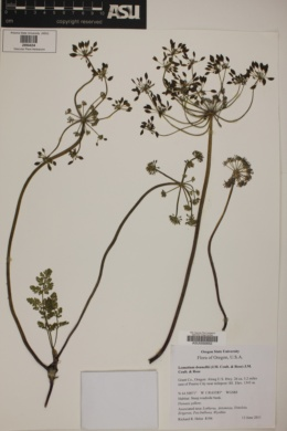 Image of Lomatium donnellii