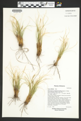 Carex filifolia image