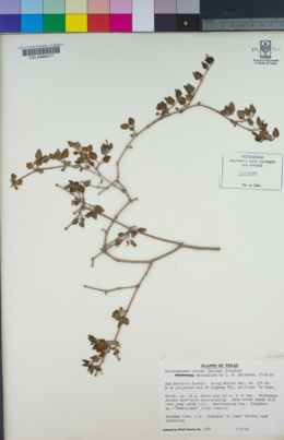 Image of Acleisanthes obtusa