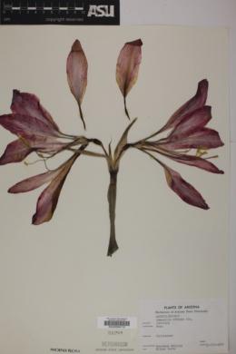 Amaryllis vittata image