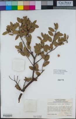 Arctostaphylos rudis image