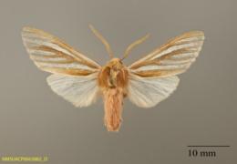 Image of Aemilia ambigua