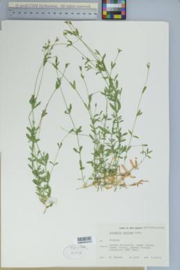Arenaria lanuginosa var. saxosa image