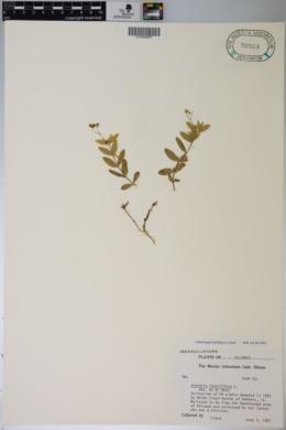 Moehringia lateriflora image