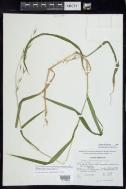 Bromus dolichocarpus image