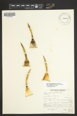Agave toumeyana image