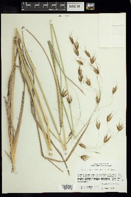 Image of Tristachya laxa
