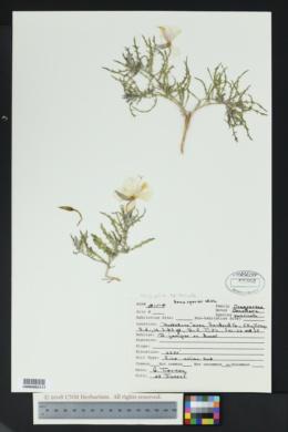 Oenothera pallida subsp. runcinata image