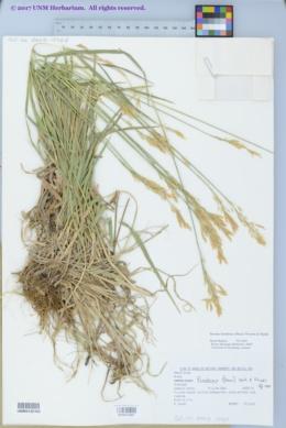 Bromus frondosus image