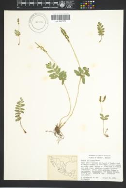 Image of Anemia jaliscana