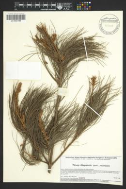 Image of Pinus chiapensis