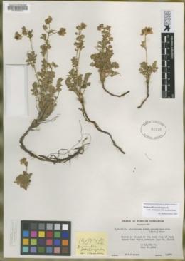Image of Drymocallis pseudorupestris
