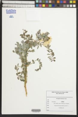 Image of Astragalus lusitanicus