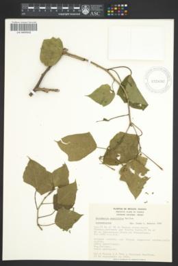Image of Dalembertia populifolia