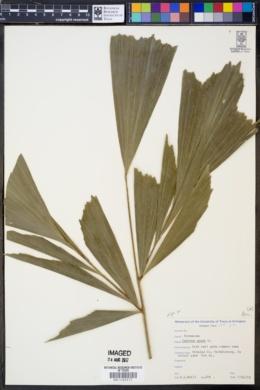 Image of Caryota urens