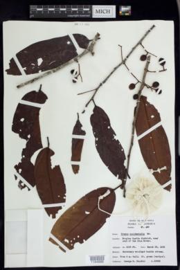 Image of Prunus occidentalis