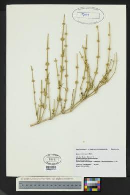 Ephedra torreyana image