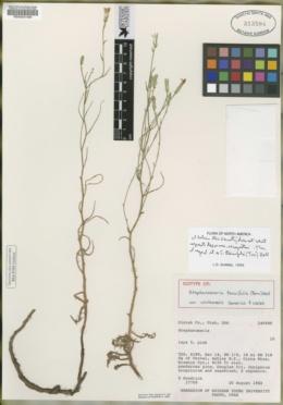 Stephanomeria minor var. minor image