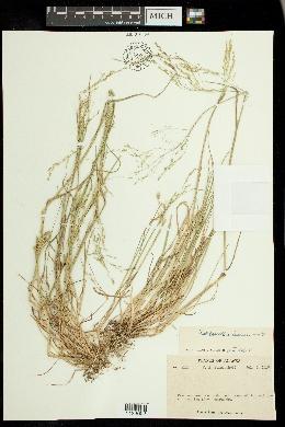 Image of Puccinellia borealis