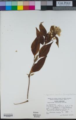 Image of Eupatorium ceriferum