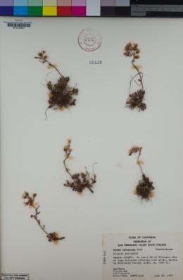 Sedum obtusatum image
