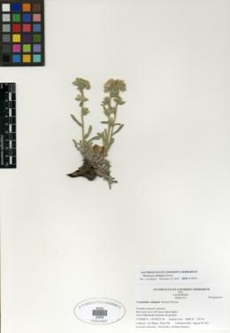 Image of Oreocarya nubigena