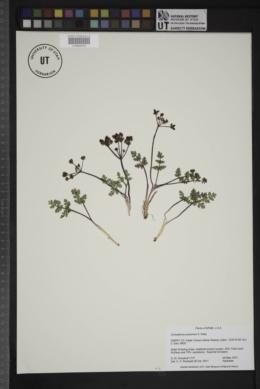 Aulospermum purpureum image