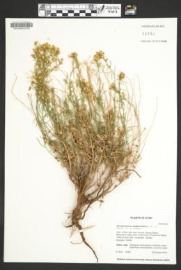 Image of Gutierrezia pomariensis