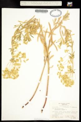 Euphorbia esula var. esula image