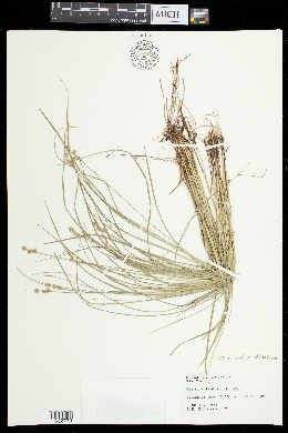 Carex atlantica image
