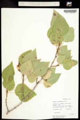 Image of Populus acuminata