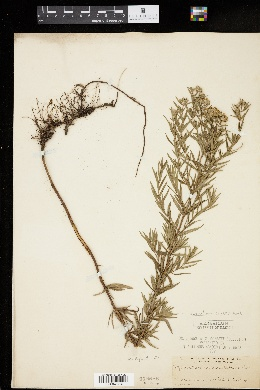 Image of Pycnanthemum lanceolatum
