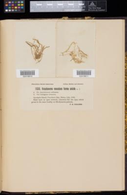 Hecatonema maculans image