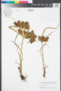 Image of Cyperus erythrorhizos