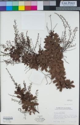 Acacia baileyana image