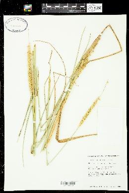 Cenchrus myosuroides image