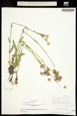 Image of Senecio dimorphophyllus