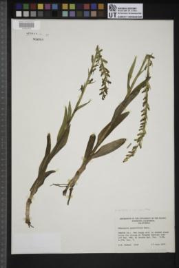 Platanthera sparsiflora var. sparsiflora image