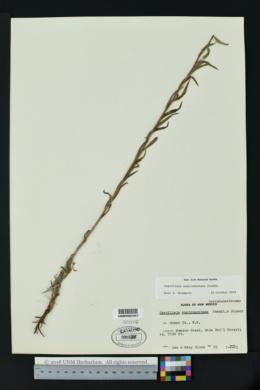 Castilleja nelsonii image